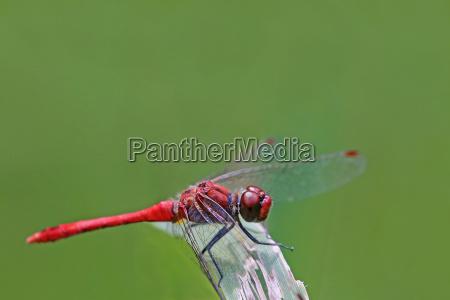 macro blood red darter sympetrum sanguineum