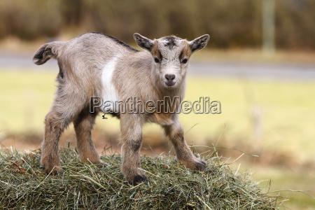 agricultural agriculturally animal pet mammal fauna