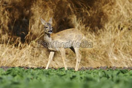 european deer capreolus capreolus young animal