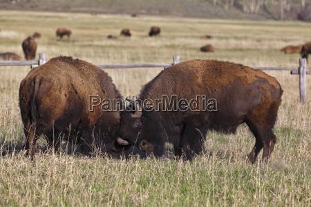 american fight fighting animal mammal fauna
