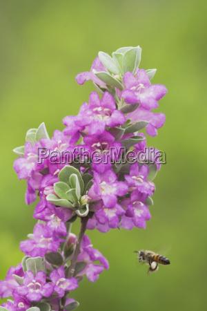 honigbiene apis mellifera alttier fliegt