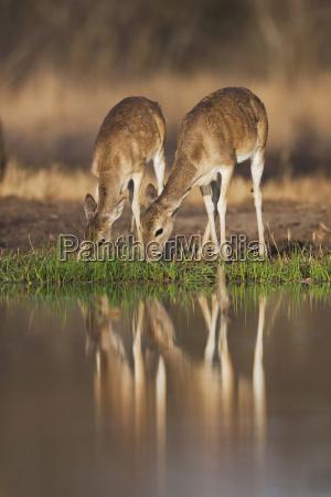 drink drinking bibs waters american animal