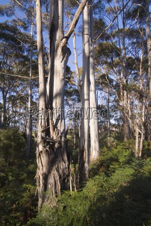 white gum tree eucalyptus tasmanien