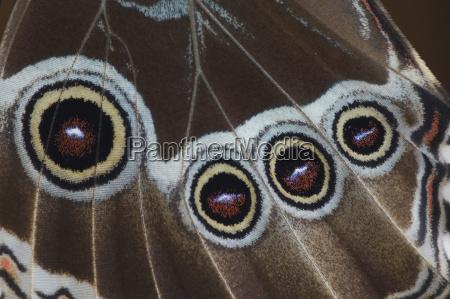 blue morpho butterfly morpho menelaus freshly