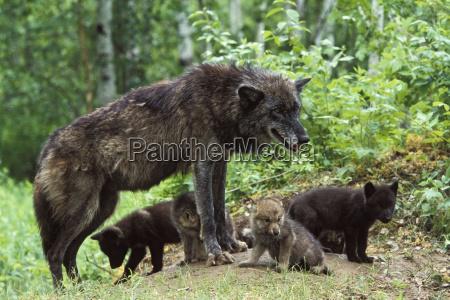 wolf canis lupus mit welpen am