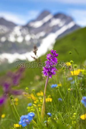 knabenkraut orchis auf einer bergwiese im