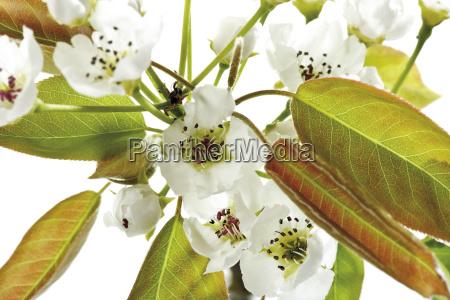nashi birnen bluten pyrus pyrifolia