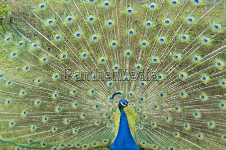 blue peacock pavo cristatus beats wheel