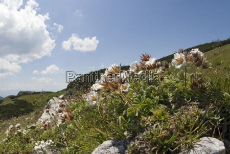 bergblumen diapensia lapponica hochschwab