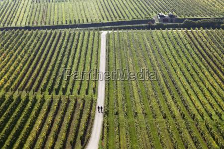 autumn vineyards near unterloibenwachauwaldviertelniederosterreichaustriaeurope
