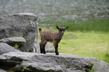 stone animal mammal fauna animals austrians