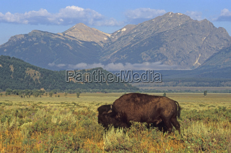 mountains american animal mammal fauna animals