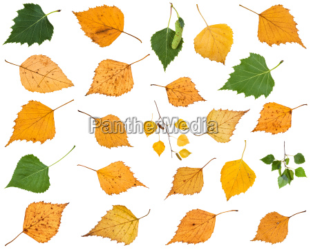 set of various leaves of birch