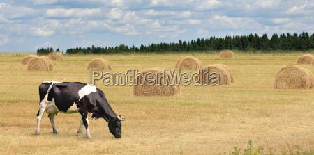 kuehe die auf dem sommerfeld grasen