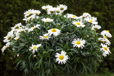 flowering marguerite tree leucanthemum in the