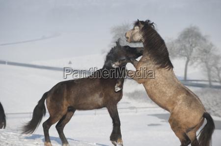 zwei pferde spielen und steigen sich