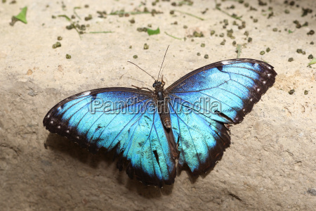 blue morpho butterfly or sky butterfly