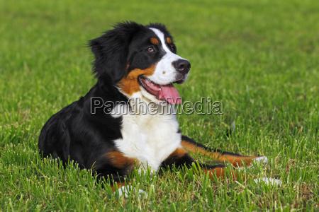bernese mountain dog canis lupus familiaris