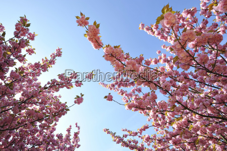 japanese cherry tree black cherry oriental