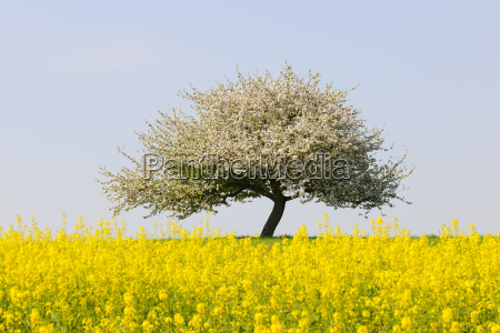 bluhender apple tree with rapefield under
