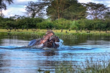nilpferd hippopotamus amphibius naivashasee