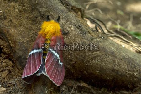 seidenspinner pseudodirphia menander monteverde