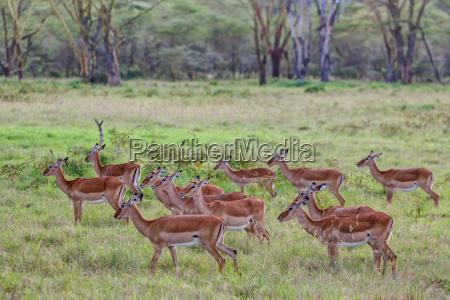 group of female impala black footed
