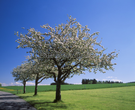 blooming apple tree near illerbeuren unterallgau