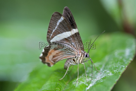 american animal insect insects fauna butterfly