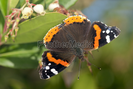 admiral butterfly vanessa atalanta noble moth