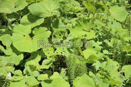 voralpine auenvegation mit blattern von pestwurz