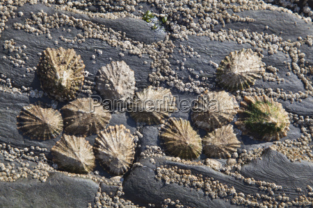 limpets patella coerulea in the surf