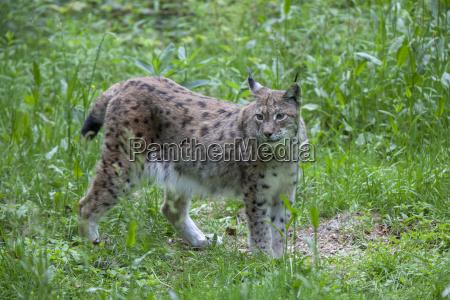 lynx lynx lynx in the animal