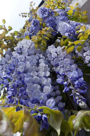 blauregen wisteria sinensis