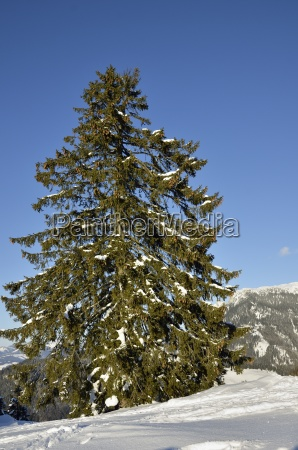 old mountain spruce picea abies at