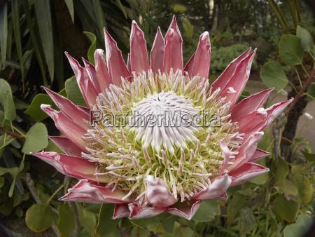 koenigsprotea koenigs protea protea cynaroides la
