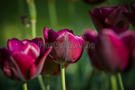 beautiful purple tulips in the garden