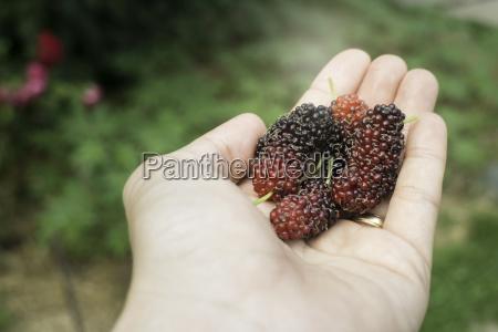hand auf frische maulbeerfrucht