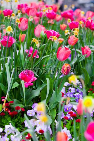 garten blume blumen pflanze tulpe postkarte