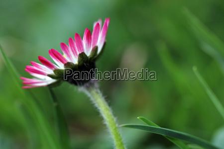 nahaufnahme von einem rosa weissen gaensebluemchen
