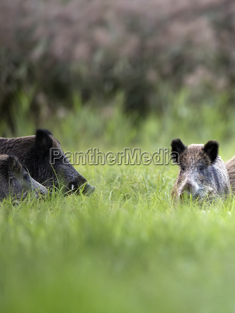 wild boars in the grass