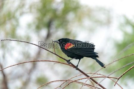 vogel amsel