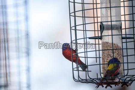helle maennerflaute passerina ciris