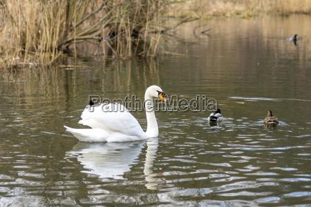schwaene wasservogel suesswasser teich tuempel weiher