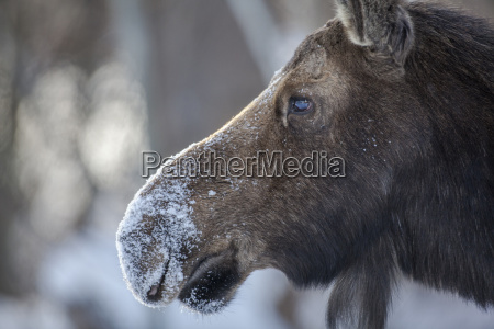 cow moose covered in snow jackson