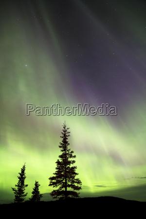 aurora borealis over silhouettes of evergreen