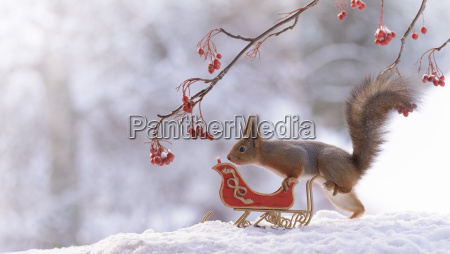 red squirrel with sleigh on snow