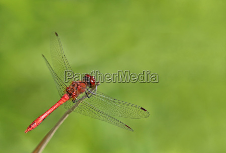 male of the blood red darterfly