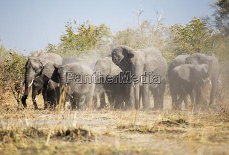 afrika namibia caprivi afrikanische elefanten wirbelnden