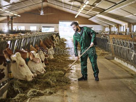 fuetterungskuehe des landwirts im stall auf